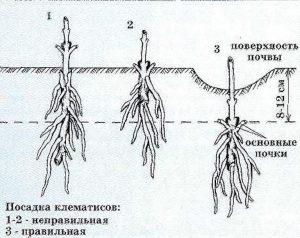 Саженцы - Клематисы: посадка, уход.. Питомник Омский Садовод.