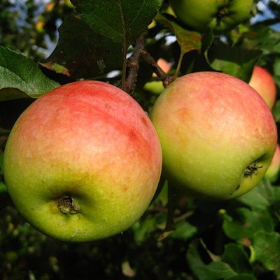 Яблоня Лето красное