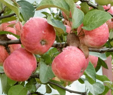 Яблоня Уралец