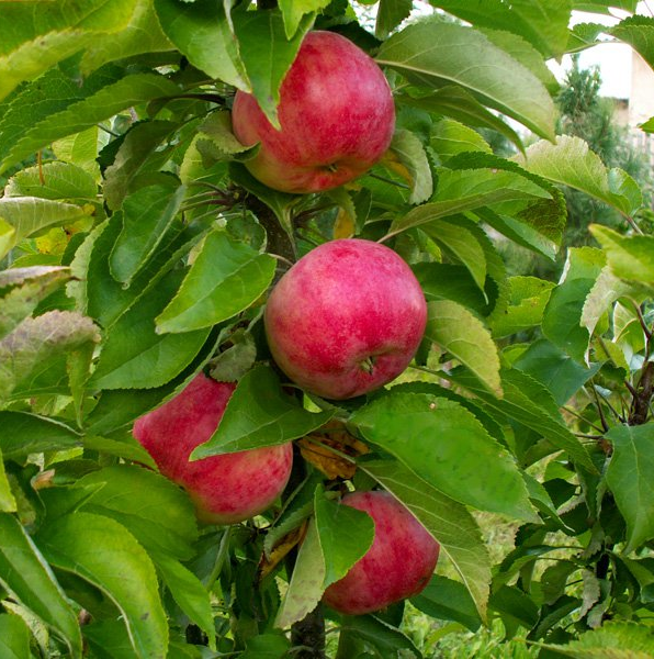 Яблоня Кумир