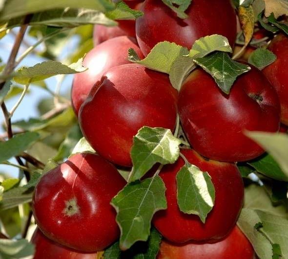 Яблоня Мамины стаканчики