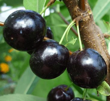 Сливово-вишневый гибрид: Омская ночка. Питомник Омский Садовод.