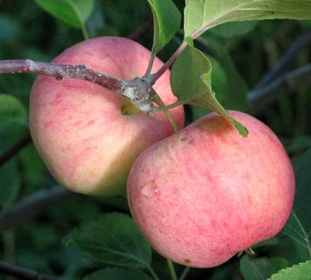 Яблоня Соковое 3