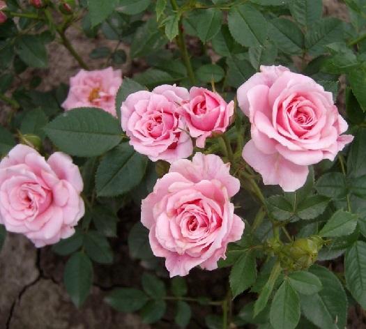 Саженцы - Спрей: Розовый. Питомник Омский Садовод.