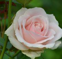 Саженцы - Роза чайно-гибридная: Светло розовая. Питомник Омский Садовод.