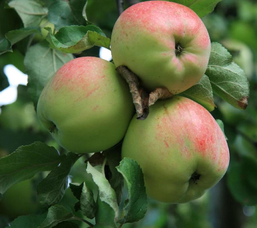 ней яблони фото и названия здесь они